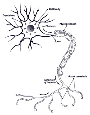 Nerve cell, graphic.