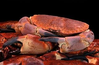 Crabe dormeur (Cancer pagurus) communément appelé tourteau par les gastronomes. Jean-Pol
